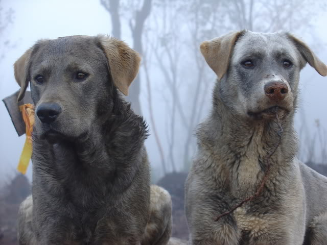 The dog on the right is a cross between a low content wolf dog and a ...