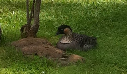 canada goose natural history