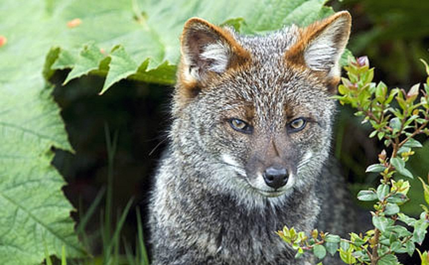 The Species Status of Darwin's Fox « Retrieverman's Weblog