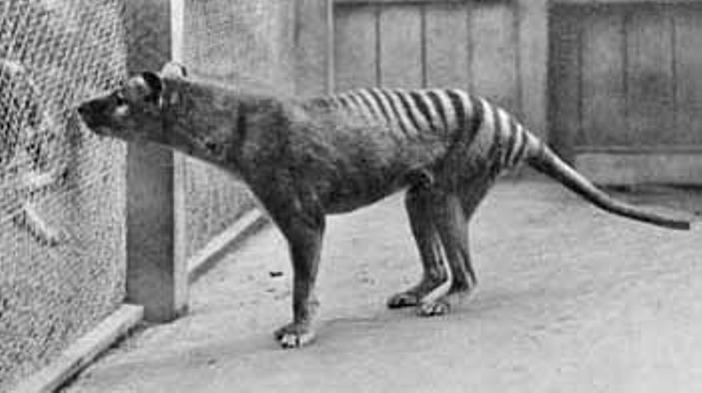 Thylacines And Dingoes Arent Examples Convergent Evolution