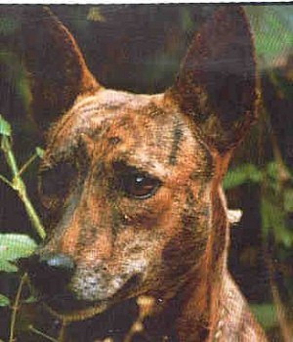 Jackal Dog Breed