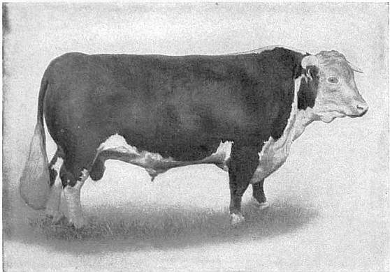The appearance of Shorthorn cattle is varied it can be roan all white a mix of reds and some are naturally polled while some are horned It has strong feet and legs and a wide back with a rectangular shaped frame