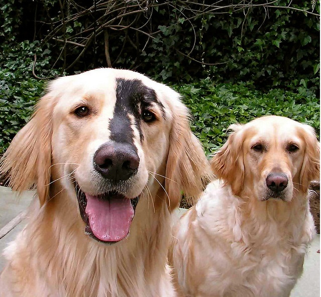 Famoso golden retriever black spots | Natural History DA34