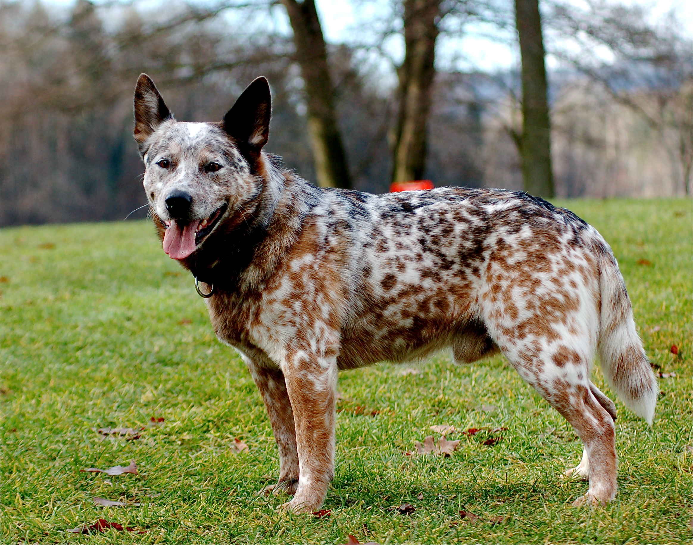 have never seen an Australian cattle dog that had a near perfect