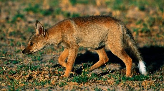 Fox Dog Hybrid Pets