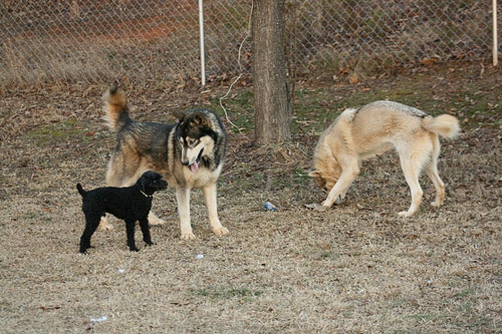 gray wolf | Natural History