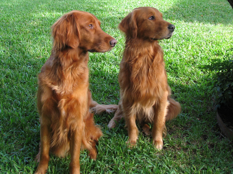 Red Golden Retriever Natural History Page 3