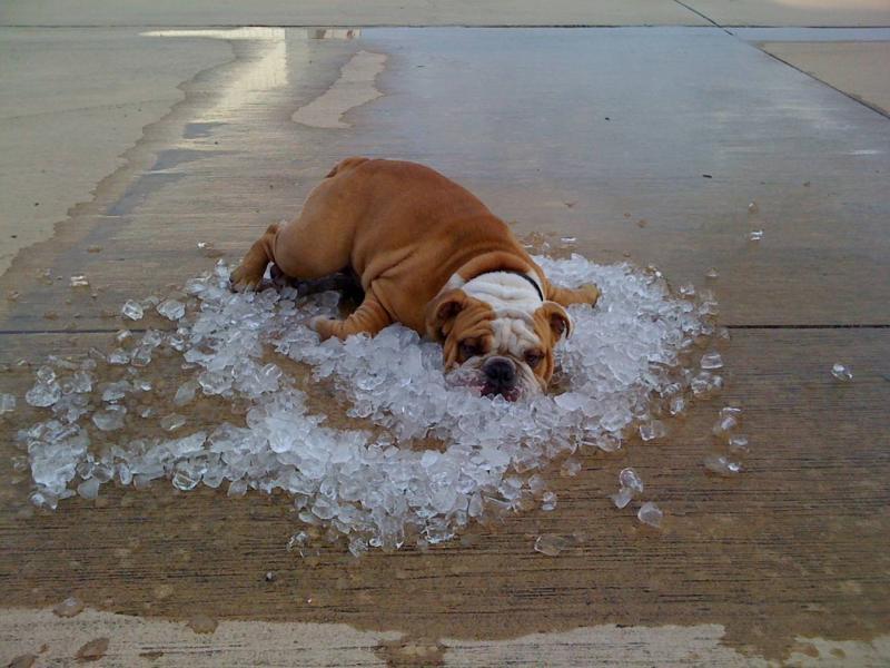 Bulldog on ice   Natural History