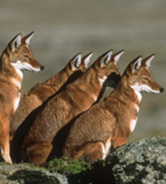 Resultado de imagen para lobos de etiopia