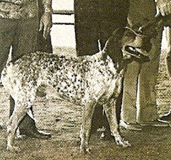 The Brazilian tracker | Canis lupus hominis