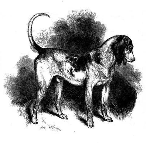 French deer hounds– Grand bleu de Gascogne | Canis lupus ...