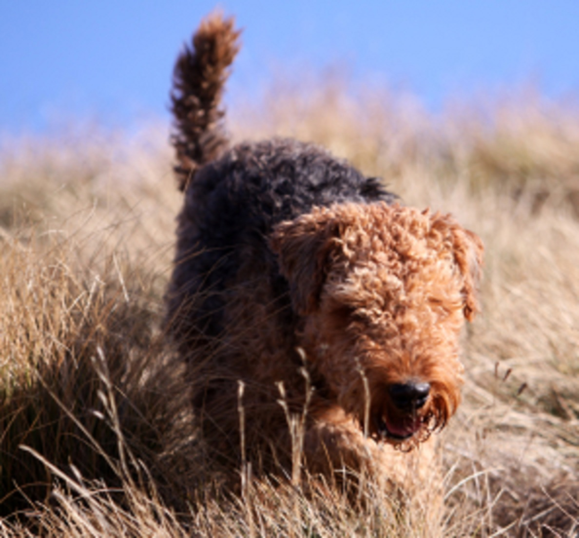 airedale terrier natural history