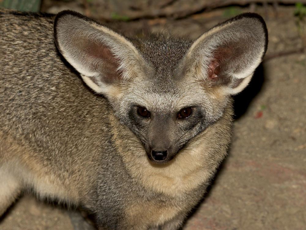 Bat eared fox - photo#7