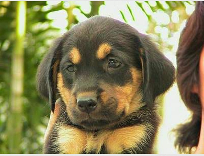 Black And Tan Golden Retriever Labrador Cross Natural History