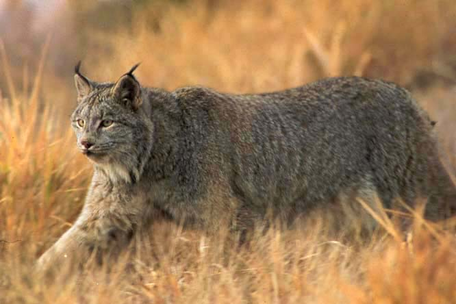 http://retrieverman.files.wordpress.com/2011/08/canada-lynx.jpg
