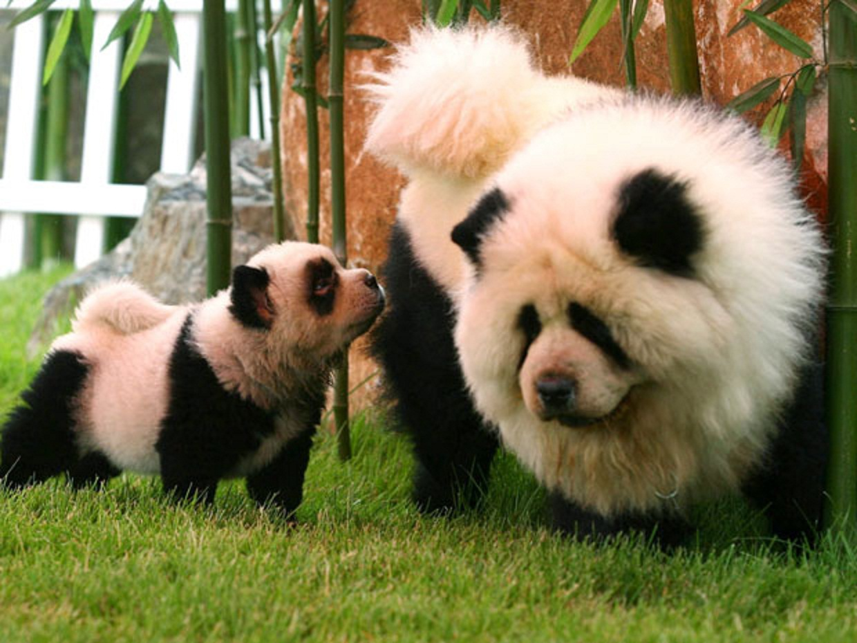 chow pandas canis lupus hominis