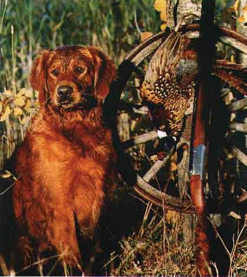 red golden retriever | Natural History | Page 3