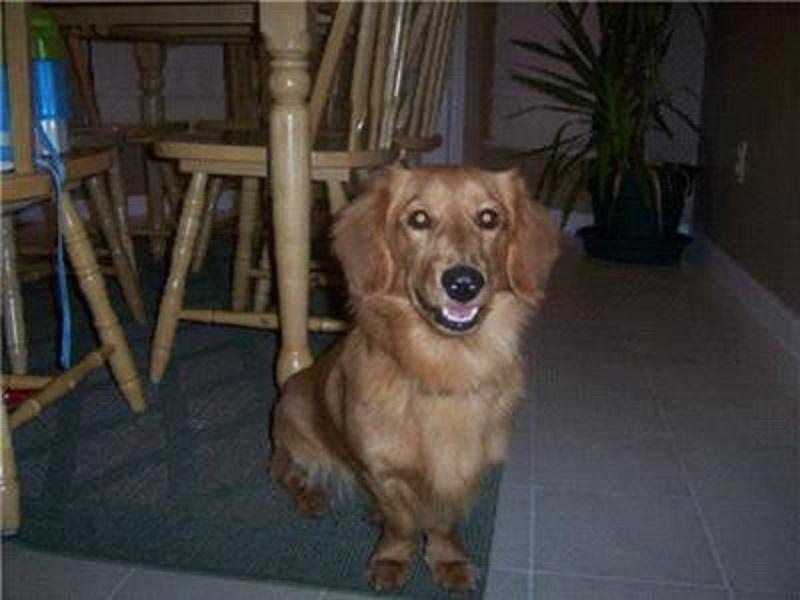 Weiner Dog Golden Retriever Mix
