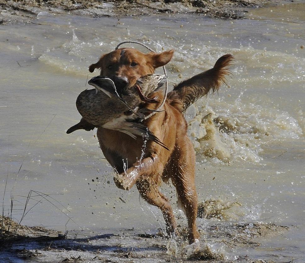Waterfowl Dog Training