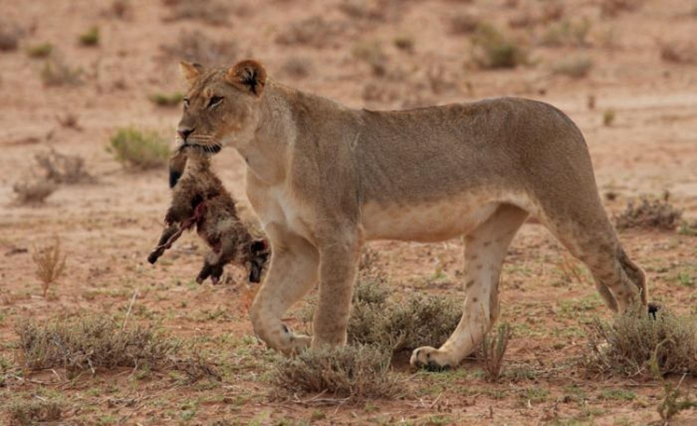 Lion Natural History