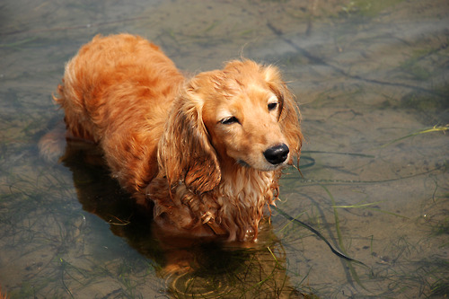 Here s a mini long-haired  Dachshund Mix Golden Retriever