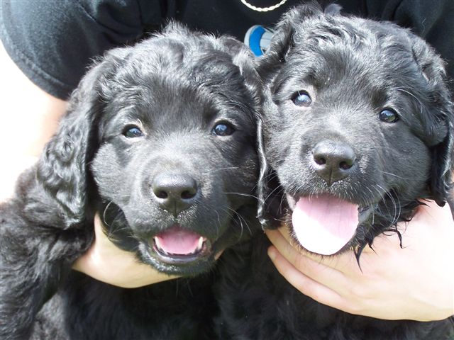 Long Haired Labrador Retriever Puppies
