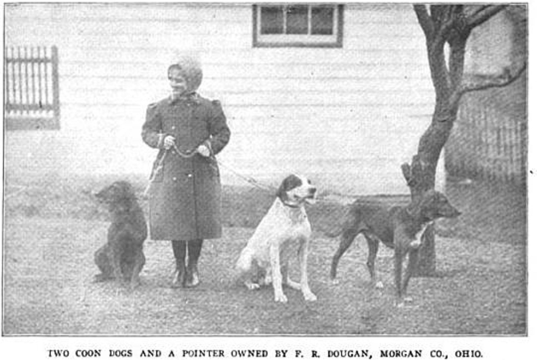 Two coonhounds and a pointer in Morgan County, Ohio American Foxhound Strains