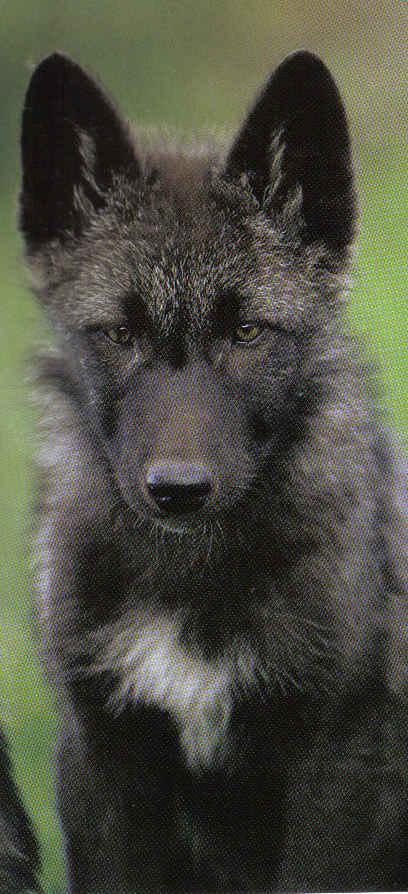 Black Wolf Natural History