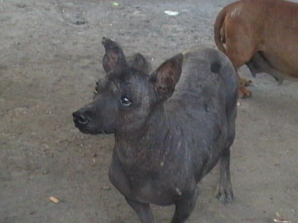 Mexican Street Dog Breed