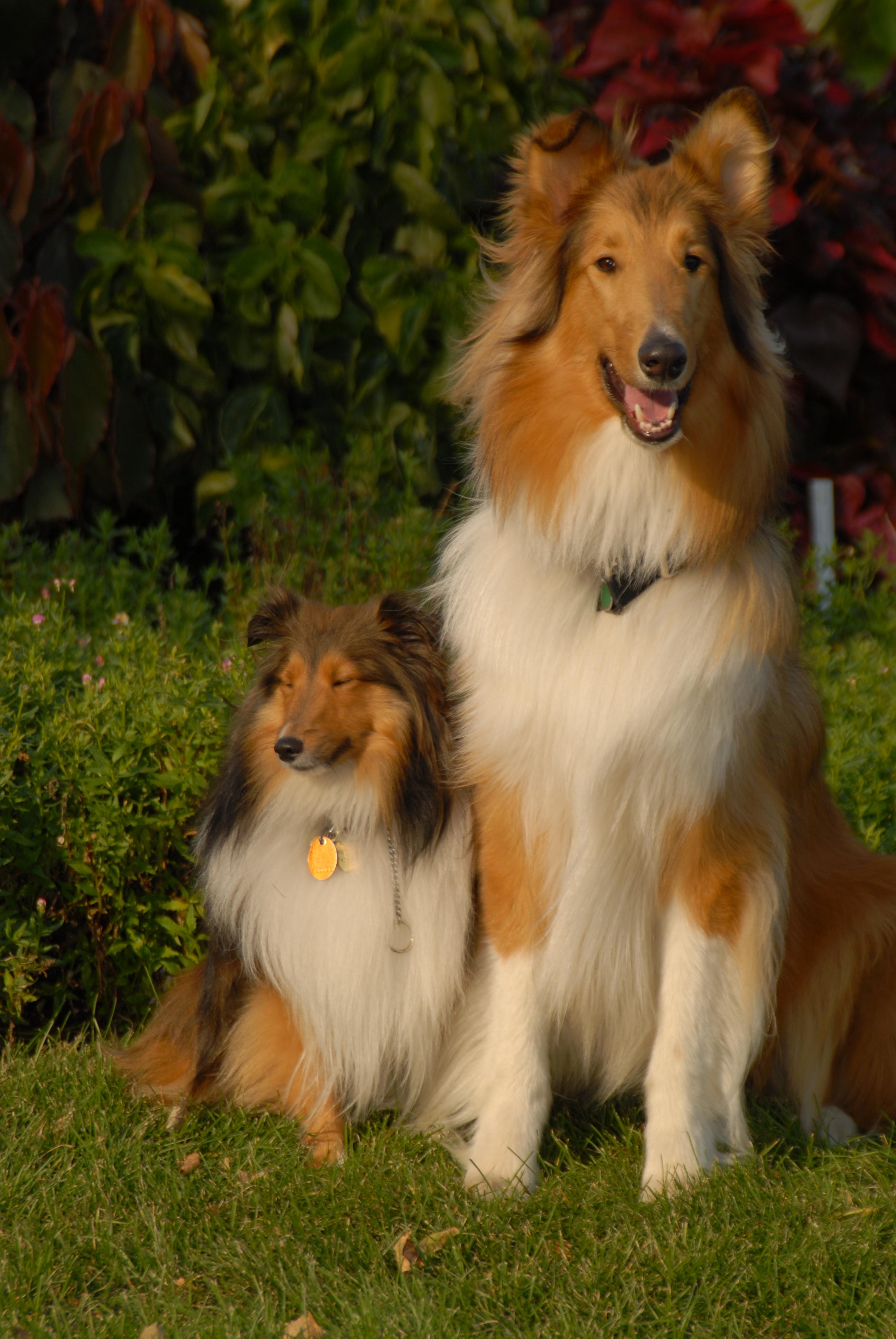 Rethinking the origins of the Shetland sheepdog | Canis lupus hominis