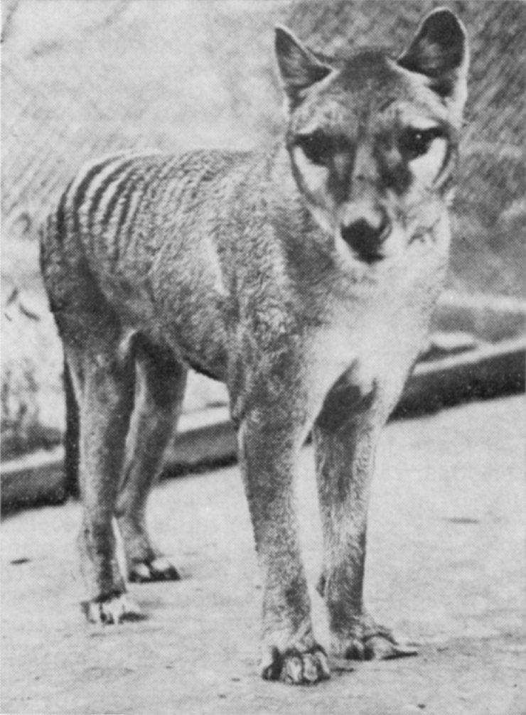 cute thylacine natural history