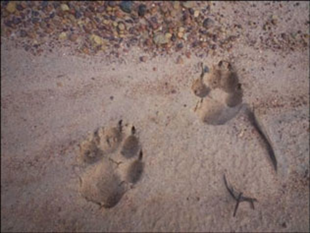 Lion Tracks Discovered At Kakadu Natural History