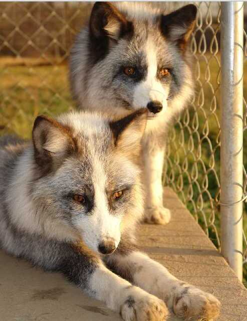 Early Canid Domestication: The Farm-Fox Experiment ...