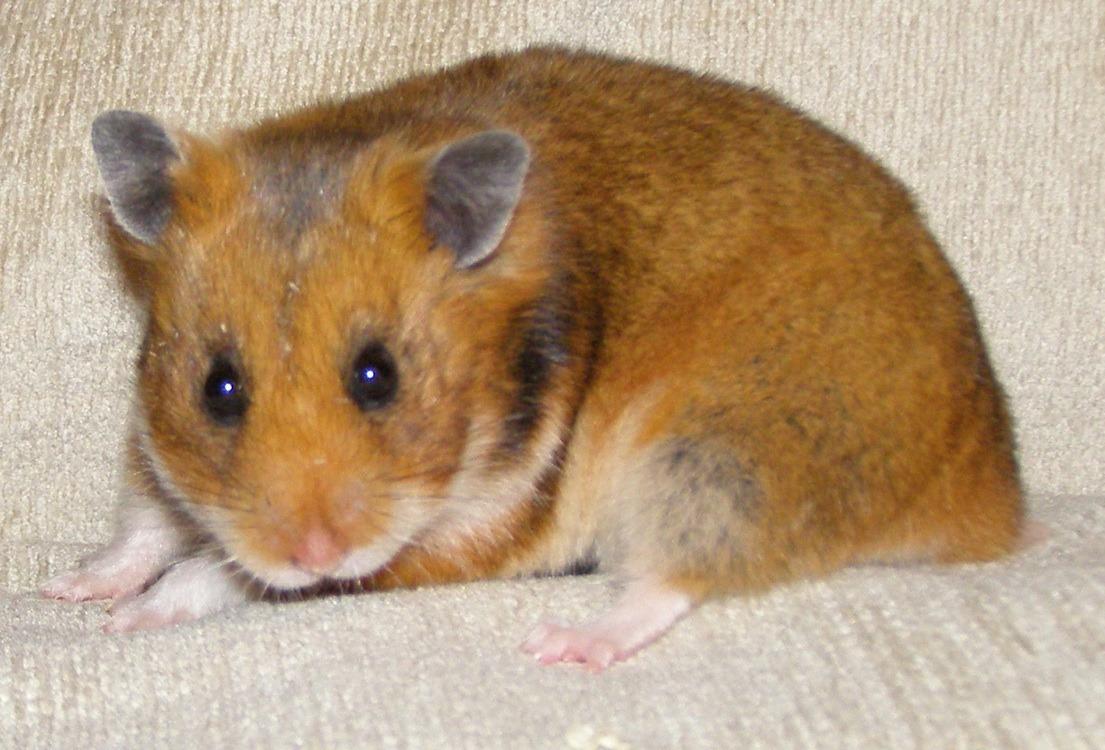 Golden hamster white - photo#7