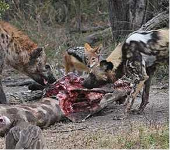 Hyena Vs Wild Dog