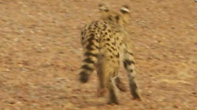 Errant serval mistaken for ocelot in Arizona (1/2)