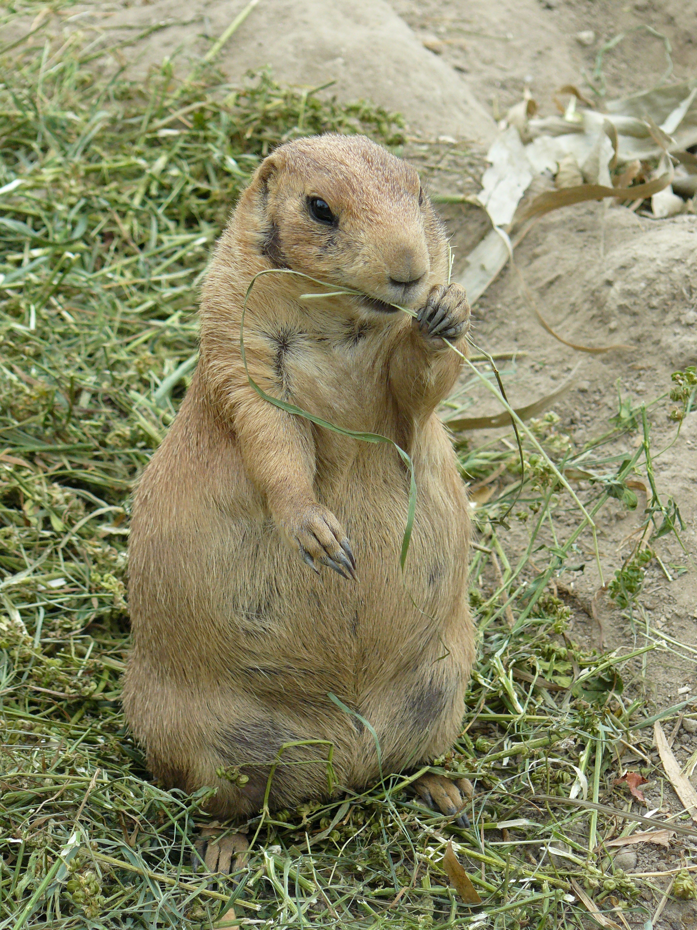 black tailed prairie dogs Species description: prairie dogs occur only in north america they are rodents within the squirrel family and include five species-- the black-tailed prairie dog (cynomys ludovicianus), the white-tailed prairie dog (cynomys leucurus), the gunnison prairie dog (cynomys gunnisoni), the utah.