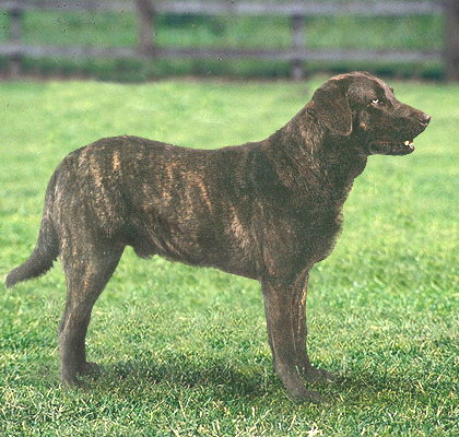 William Stratton And The Brindle Retriever Natural History