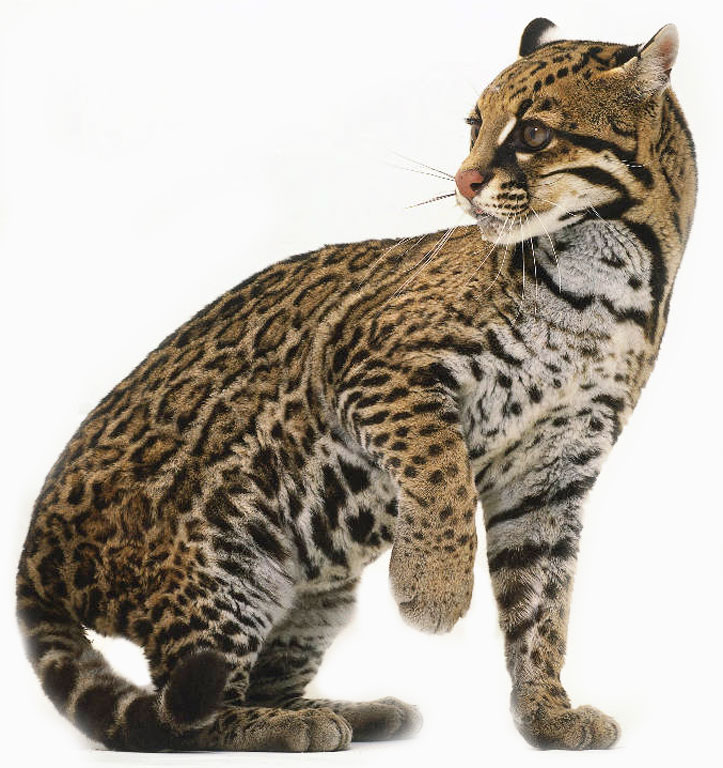 Ocelots also don   t have solid-colored spots  and their base color    Ocelot Hybrid Domestic Cat
