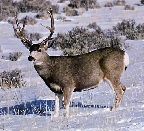 http://retrieverman.files.wordpress.com/2012/01/mule-deer1.jpg?w=500