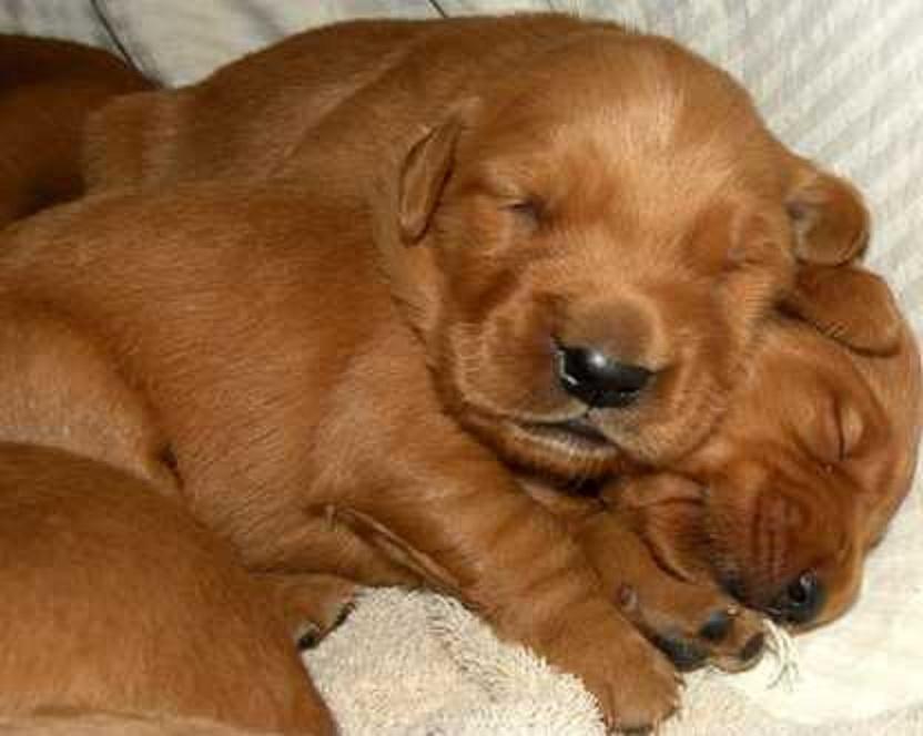 red golden retriever | Canis lupus hominis