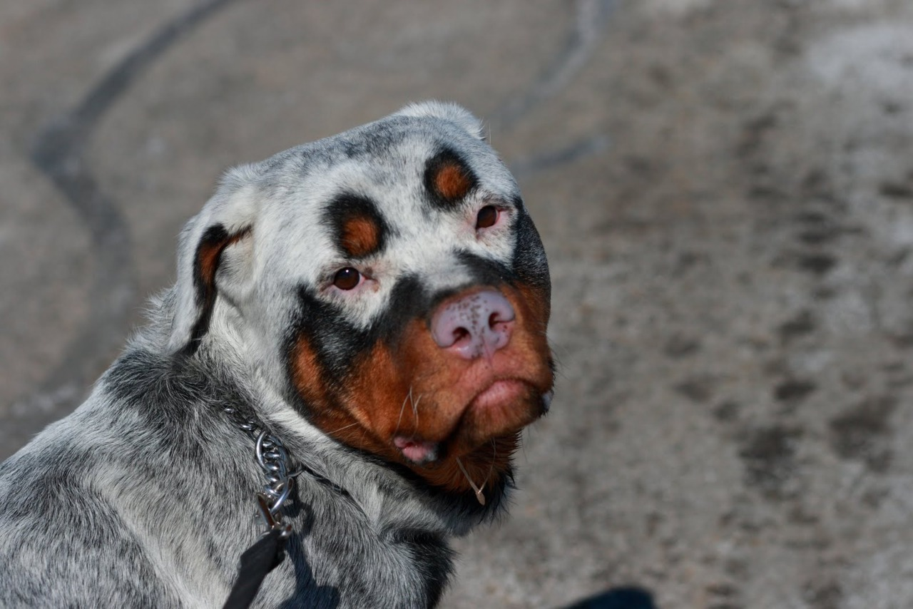 Dogs with Rottweiler Markings
