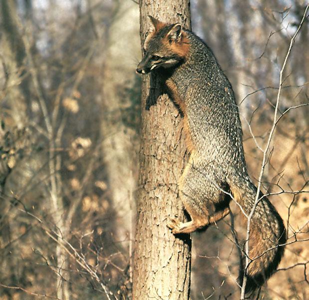 Image result for gray fox climb trees