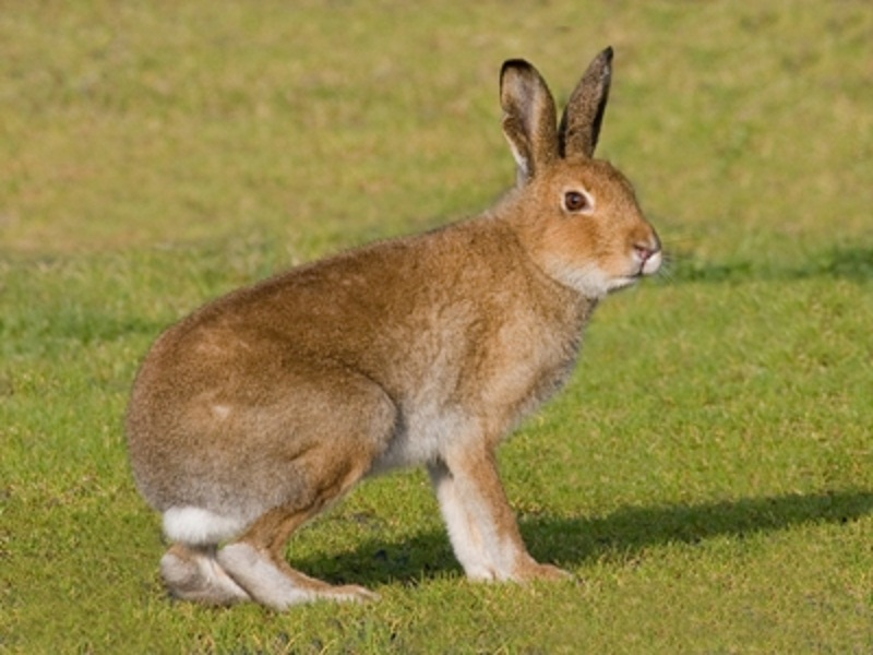 irish hare is traditionally considered a subspecies of mountain hare ...: retrieverman.net/2012/02/22/even-irelands-insular-endemics-are-not...