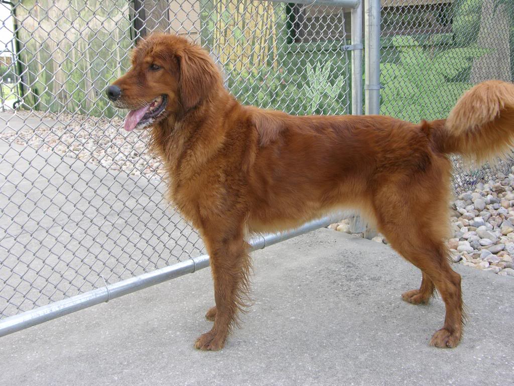 golden red dog