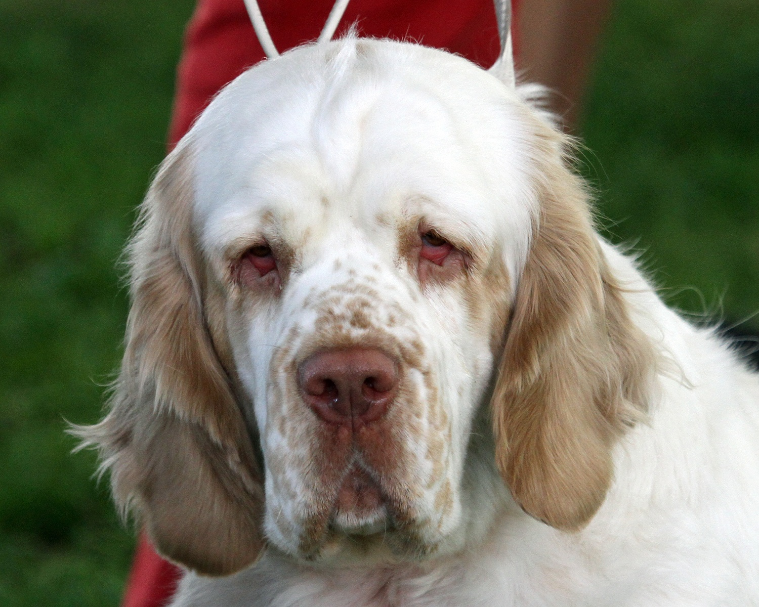 Clumber spaniel in the...