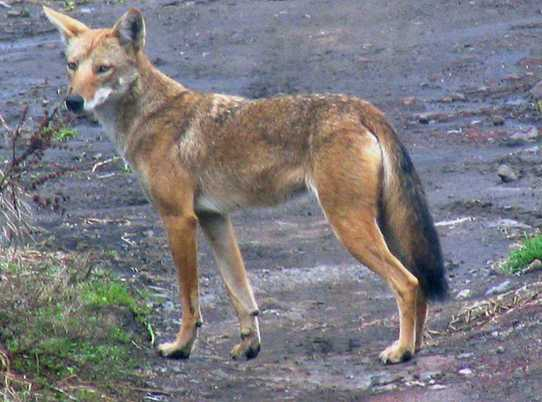 Is a jackal a coyote