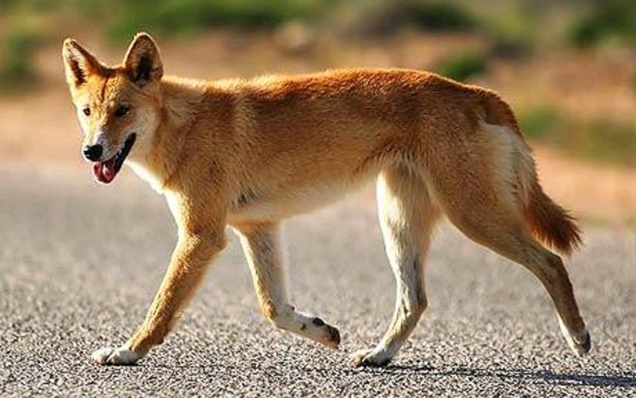 Dingo Like Dog