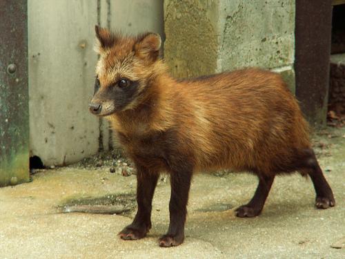 https://retrieverman.files.wordpress.com/2012/03/japanese-raccoon-dog.jpg