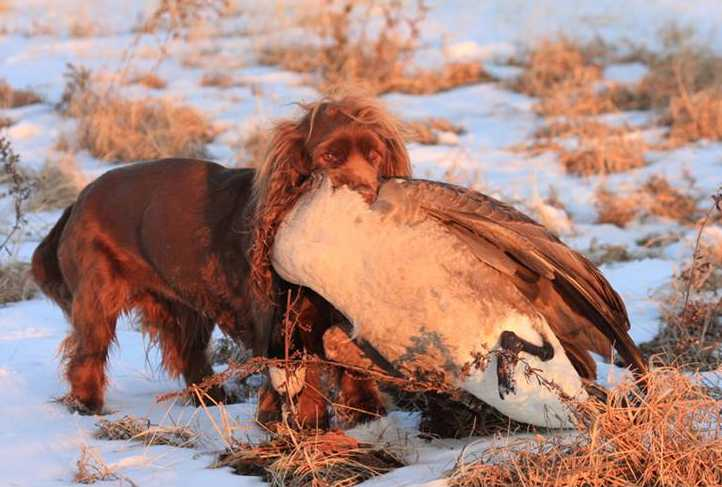 Sussex Spaniel Fetches Canada Goose Natural History